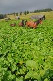 burdocks άλογα Στοκ εικόνες με δικαίωμα ελεύθερης χρήσης