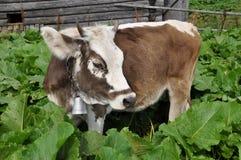 burdocks αγελάδα Στοκ φωτογραφία με δικαίωμα ελεύθερης χρήσης