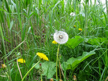 Light airy white dandelion with parachutes among the bulrush Royalty Free Stock Photography