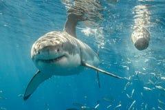 Burdykning med Great White hajar i Mexico royaltyfri bild