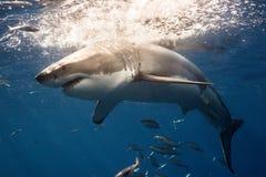Burdykning med Great White hajar i Mexico fotografering för bildbyråer