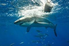Burdykning med Great White hajar i Mexico arkivbilder