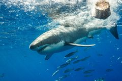 Burdykning med Great White hajar i Mexico royaltyfria bilder