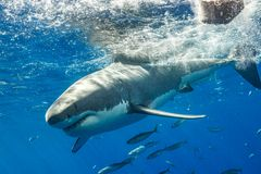 Burdykning med Great White hajar i Mexico royaltyfria foton