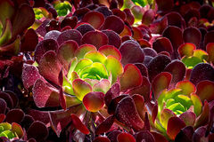 Burgandy Colored Succulent Stock Photography