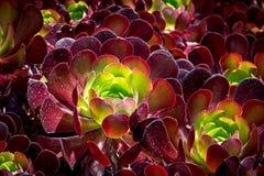 Burgandy kleurde Succulent stock fotografie