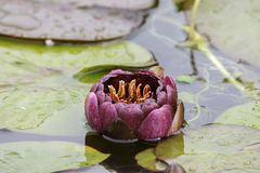 Burgandy red  Water Lillie and lillie pads Royalty Free Stock Images