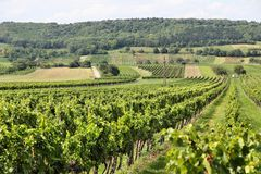 Burgenland-Weinberg Lizenzfreies Stockfoto