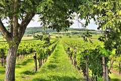 Burgenland wine land. Austria agriculture - Burgenland wine growing region. Vineyard in summer stock image