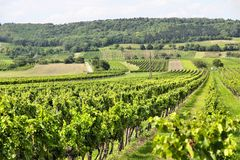 Burgenland wine region. Austria agriculture - Burgenland wine growing region. Vineyard in summer royalty free stock images