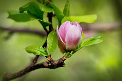 A burgeon of magnolia in springtime Stock Photos