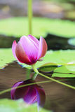 Burgeon pink water lily Royalty Free Stock Image