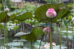 Burgeon water lily Stock Images