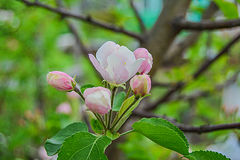 Burgeoning apple bud. Blooming apple bud and what is the smell stock photos