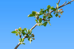 Burgeoning apple tree branch Stock Image