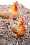 Burger des lebenden Huhns Stockfoto