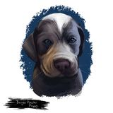 Burgos pointer puppy dog breed digital art illustration. Burgos pointer puppy dog breed portarait of gentle English mastiff mammal. Domestic animal calm pet Stock Illustration