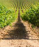 Burgos vineyard Stock Photography