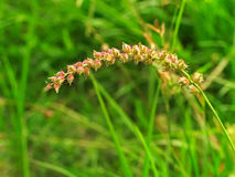 Burgrass or hedgehog grass. Or  Cenchrus echinatus Royalty Free Stock Photos