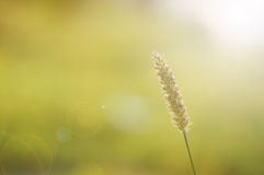 Burgrass on soft blur background Stock Image