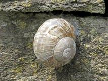 burgund可食的螺旋pomatia罗马蜗牛 免版税库存照片