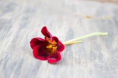 Burgunder-Kapuzinerkäseblume auf alter Holzoberfläche im Garten lizenzfreie stockfotos
