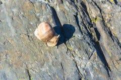Burgunder-Schnecke auf einem Stein Lizenzfreie Stockfotografie