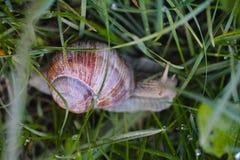 Burgunder-Schnecke beim Grasschauen Stockfotografie