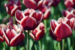 Burgunder-Tulpen mit weißer Franse Lizenzfreie Stockbilder