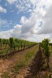 Burgunder vinyard Stockbild