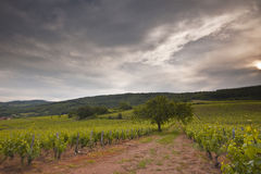 Burgundian vines Stock Photos