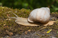 Burgundu snail on moss Royalty Free Stock Images