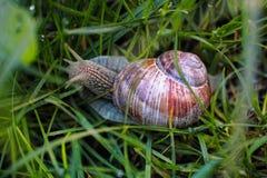 Burgundy ślimaczek w mokrej trawie Zdjęcie Stock