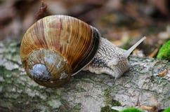 Burgundy ślimaczków Helix ślimaczka Romański czołganie na swój starym drewnie w lasowym zbliżeniu makro- Zdjęcie Stock