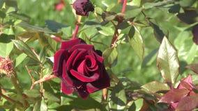 Burgundy αυξήθηκε λουλούδι απόθεμα βίντεο