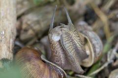 Burgundy σαλιγκάρι, ρωμαϊκό σαλιγκάρι, εδώδιμο σαλιγκάρι ή escargot Στοκ Φωτογραφία