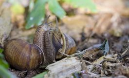 Burgundy σαλιγκάρι, ρωμαϊκό σαλιγκάρι, εδώδιμο σαλιγκάρι ή escargot Στοκ Εικόνες