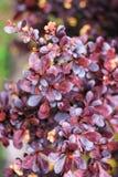 Burgundy φύλλα Barberry Tunberga ` Carmen ` θάμνων Στοκ Φωτογραφία