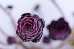 Burgundy Alpine Succulent. Beauty rose stock photos