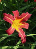 Burgundy And Yellow Daylily In Bloom