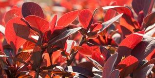 Burgundy bright foliage. Beautiful bright burgundy foliage, bush in the sunlight Royalty Free Stock Photography