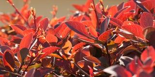 Burgundy bright foliage. Beautiful bright burgundy foliage, bush in the sunlight Royalty Free Stock Photos
