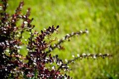 Burgundy buske Arkivfoton