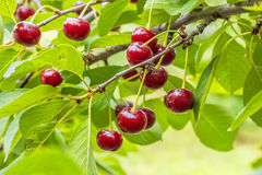 Burgundy cherries on a branch with leaves, close up Royalty Free Stock Images
