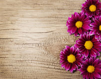 Burgundy Chrysanthemums Flowers on wooden background Royalty Free Stock Photo