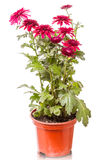 Burgundy chrysanthemums in pots Royalty Free Stock Images