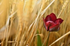 Burgundy Tulip stock image