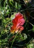 Burgundy Colored Leaf Stock Images