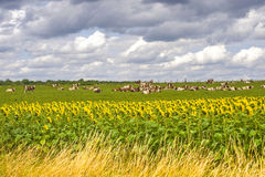 Burgundy - Cows and sunflowers Royalty Free Stock Images