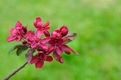 Burgundy crabapple blossoms Stock Images